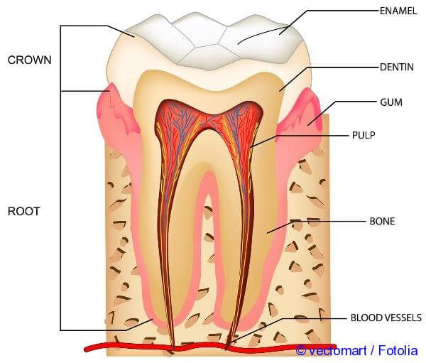 Features Of The Structure Of Human Teeth